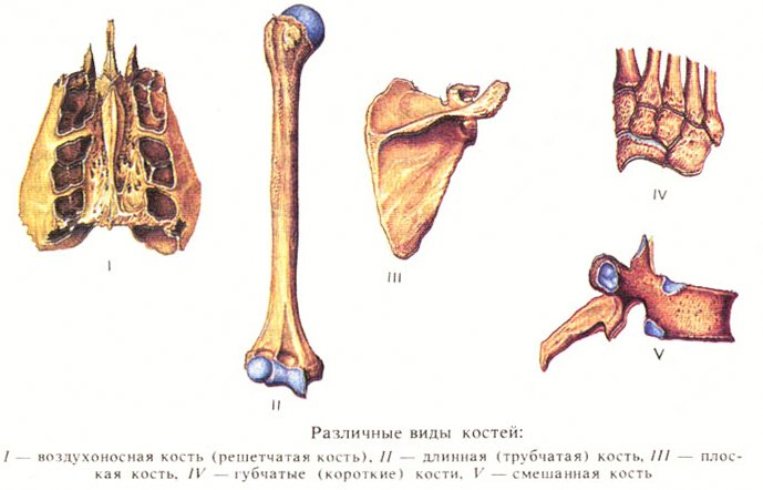 Форма и строение костей