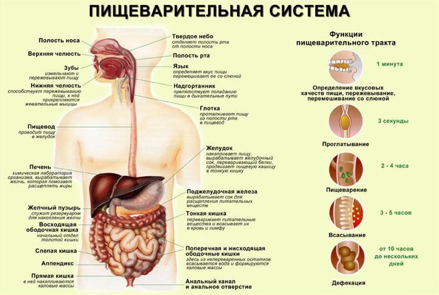 Строение пищевой системы