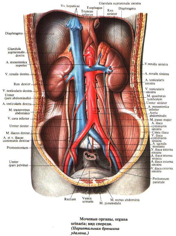 Мочевые органы