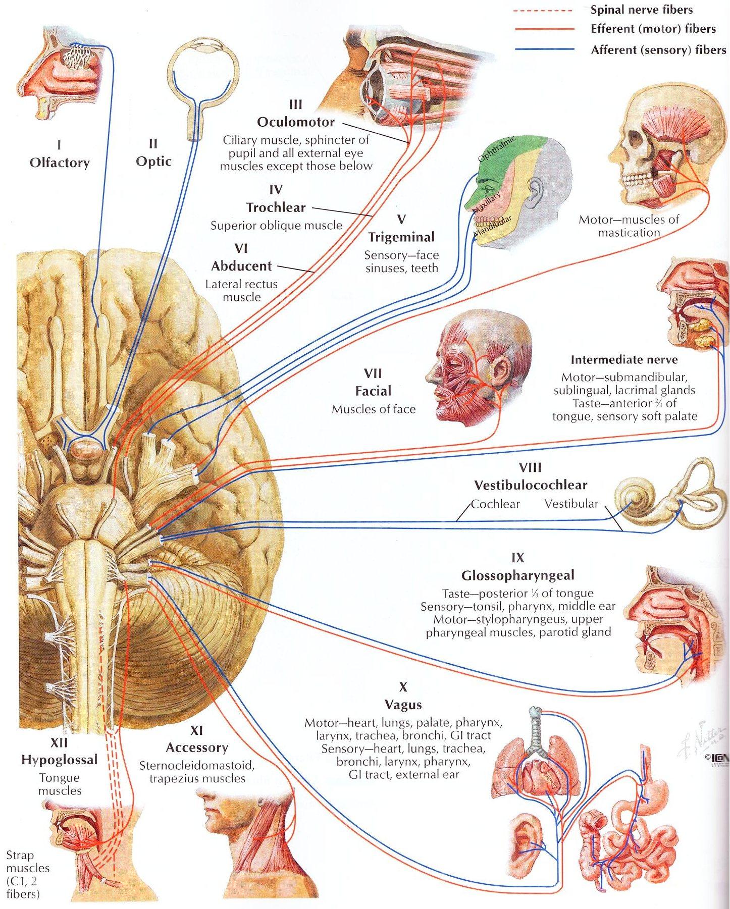 Размещение нервных зон в коре мозга