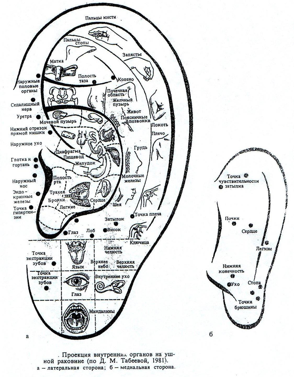 Проекция внутренних частей тела на ушной раковине