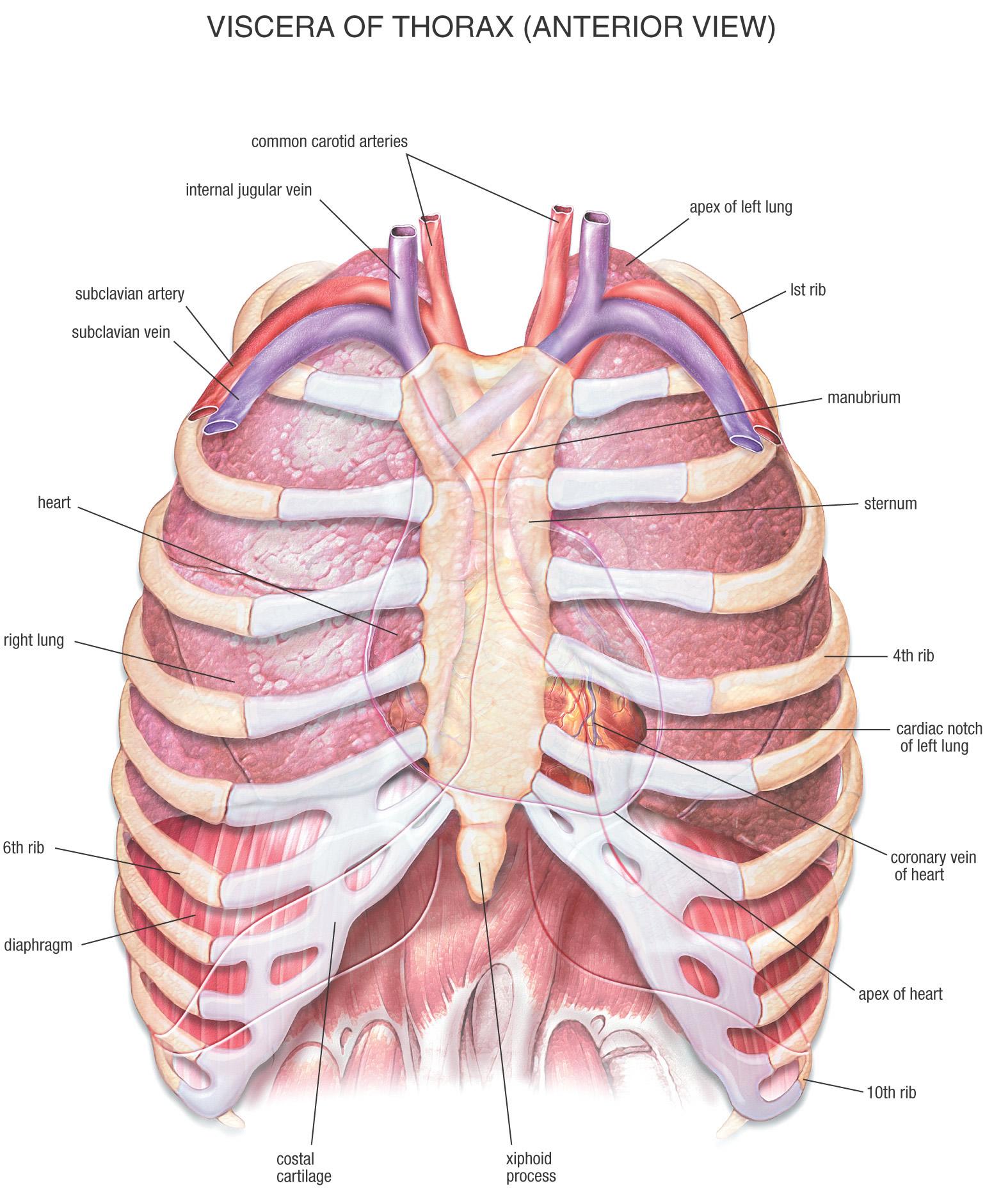 Размещение сердца в грудной полости