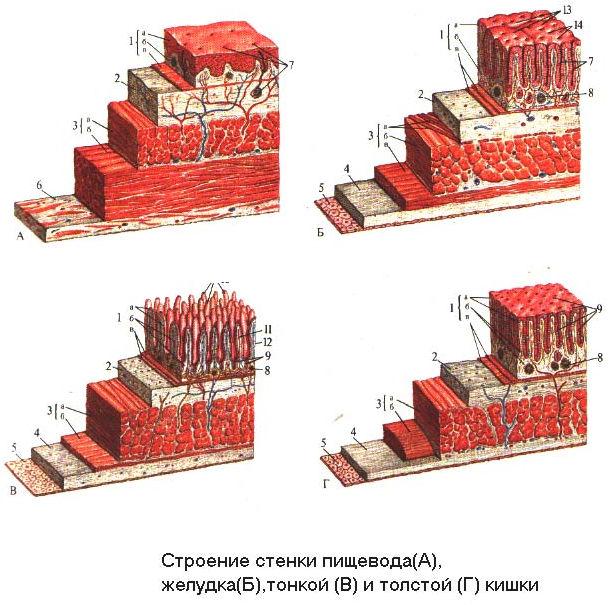 Строение стенок пищевода