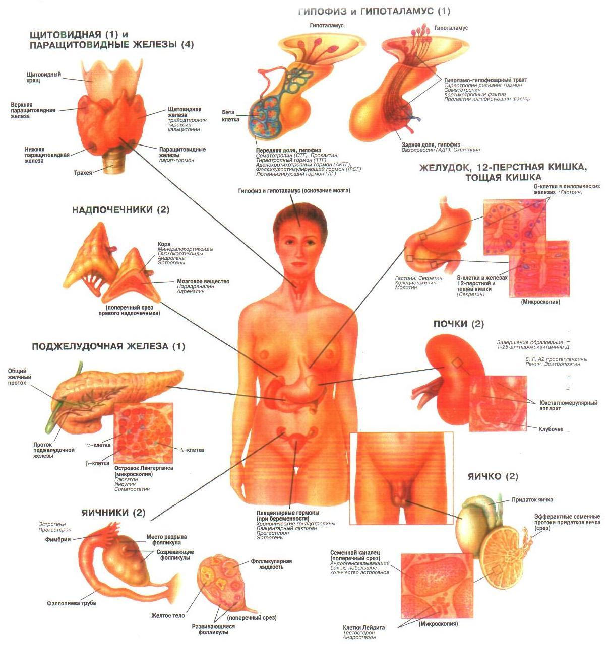 Размещение желез в организме человека